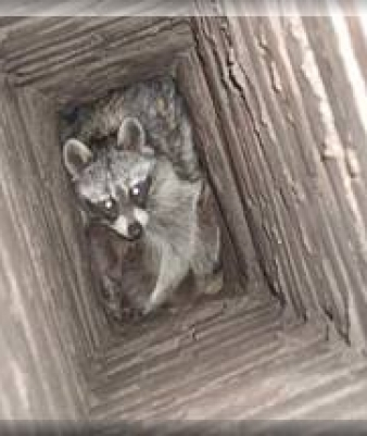 raccoon in chimney