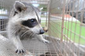 Raccoon Trapped in Cage in San Jose